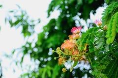 Fiore del lebbeck dell'albizia immagine stock libera da diritti