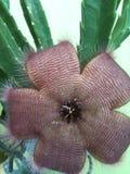 Fiore del leopardo Immagini Stock
