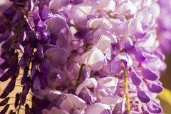 Fiore del lillà della primavera Immagini Stock Libere da Diritti