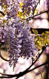 Fiore del lillà della primavera Immagine Stock