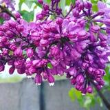 Fiore del lillà della primavera Fotografia Stock Libera da Diritti