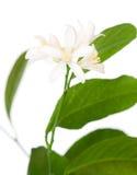Fiore del limone Immagini Stock