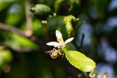 Fiore del limone Fotografie Stock