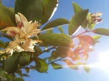 Fiore del limone Fotografie Stock Libere da Diritti