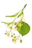 Fiore del Linden Immagini Stock Libere da Diritti
