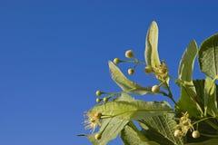 Fiore del Linden Fotografie Stock