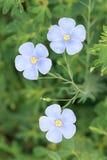 Fiore del lino Fotografie Stock