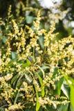 Fiore del Longan, agricoltura in Tailandia Asia Fotografia Stock Libera da Diritti