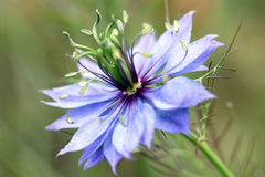 Fiore del Love-in-a-mist (damascena di Nigella) Fotografie Stock