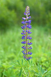 Fiore del Lupine immagine stock libera da diritti