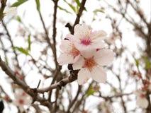 Fiore del mandorlo Immagini Stock
