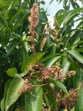 Fiore del mango fotografia stock