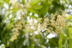 Fiore del mango Fotografie Stock Libere da Diritti