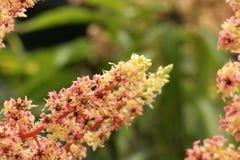 Fiore del mango Fotografia Stock Libera da Diritti