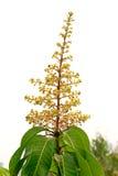 Fiore del mango sull'albero Fotografia Stock