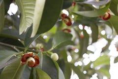 Fiore del mangostano Immagini Stock