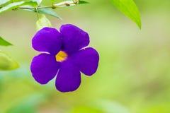 Fiore del manto del ` s di re fotografia stock libera da diritti