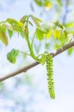 Fiore del maschio della noce fotografia stock