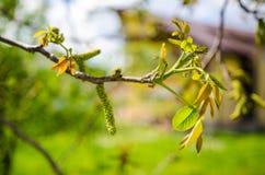 Fiore del maschio della noce fotografie stock libere da diritti
