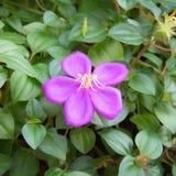 Fiore del melastome di Malabar Immagini Stock