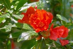 Fiore del melograno Immagini Stock