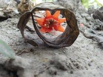 Fiore del melograno fotografie stock