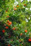 Fiore del melograno Fotografia Stock
