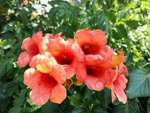 Fiore del melograno sul ramo verde fotografia stock