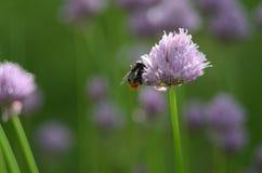 fiore del Miele-cuscinetto Immagini Stock