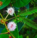Fiore del mimosa pudica Immagine Stock
