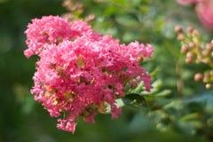 Fiore del mirto di Crape Immagine Stock