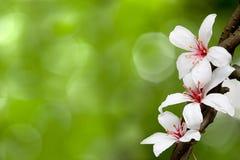 Fiore del Montana del Aleurites immagini stock libere da diritti