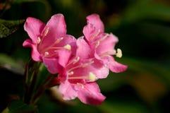 Fiore del moscatello Fotografia Stock