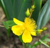Fiore del mosto di malto di St John Fotografia Stock