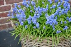 Fiore del Muscari blu dei fiori in anticipo della molla fotografia stock
