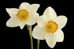 Fiore del narciso Immagine Stock