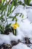 Fiore del narciso Fotografie Stock