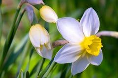 Fiore del narciso - bei fiori della molla La primavera ? venuto e tutta la natura ? sbocciato La Russia fotografie stock