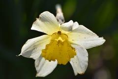 Fiore del narciso con il ragno Fotografie Stock