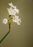Fiore del narciso di Paperwhite Fotografia Stock