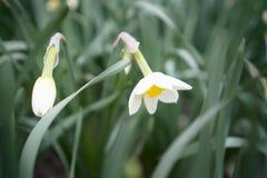 Fiore del narciso Germogli del fiore bianco del narciso, dei gambi verdi e delle foglie Fondo dei fiori e delle foglie verdi del  fotografia stock