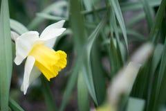 Fiore del narciso Germoglio sbocciante del narciso circondato dai gambi e dalle foglie Fiori e foglie verdi del narciso del narci fotografia stock libera da diritti