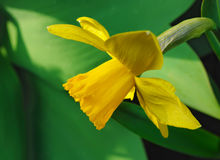 Fiore del narciso giallo Immagine Stock Libera da Diritti