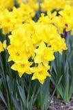 Fiore del narciso nella primavera Fotografia Stock