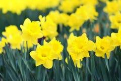 Fiore del narciso nella primavera Immagini Stock