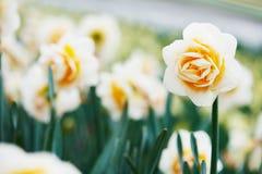 Fiore del narciso o del narciso sull'azienda agricola del fiore Fotografia Stock