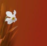 Fiore del narciso su rosso Fotografia Stock Libera da Diritti