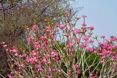Fiore del Nerium fotografie stock