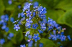Fiore del nontiscordardime nel giardino Fotografia Stock
