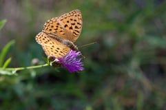 Fiore del onwild della farfalla Immagine Stock